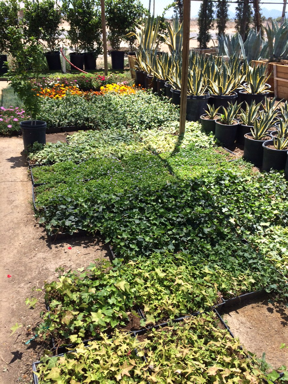 Nursery Landscape plants